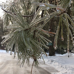 A glen morning icy pine needles